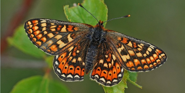 MarshFritillary photo by Mark Pike